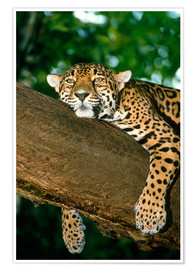 Poster Premium  Jaguar resting in a tree - William Ervin