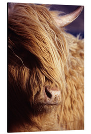 Alluminio Dibond  Scottish highlander - Louise Murray