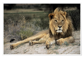 Poster  Male lion - Peter Chadwick