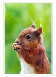 Poster  Red squirrel - Simon Fraser