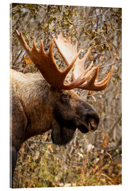 Stampa su vetro acrilico  Close up of a bull moose at Powerline Pass in autumn, Anchorage, Southcentral Alaska USA - Doug Lindstrand