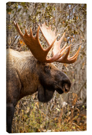 Stampa su tela  Close up of a bull moose at Powerline Pass in autumn, Anchorage, Southcentral Alaska USA - Doug Lindstrand