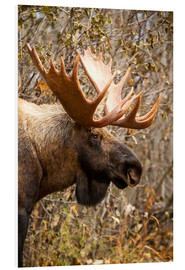 Stampa su schiuma dura  Close up of a bull moose at Powerline Pass in autumn, Anchorage, Southcentral Alaska USA - Doug Lindstrand