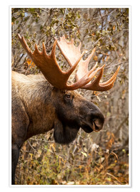 Poster Premium Close up of a bull moose at Powerline Pass in autumn, Anchorage, Southcentral Alaska USA