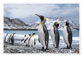 Poster Premium  Nine King Penguins (Aptenodytes patagonicus), South Georgia, South Georgia and the South Sandwich Is - Deb Garside