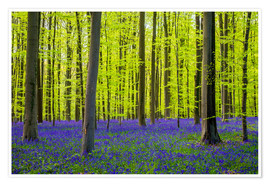 Poster Premium Bluebell flowers (Hyacinthoides non-scripta) carpet hardwood beech forest in early spring, Halle, Vl