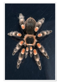 Poster  Mexican Red Knee Tarantula (Brachypelma Smithi), captive, Mexico, North America - Janette Hill