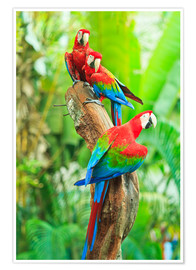 Poster Premium  Group of dark red macaws