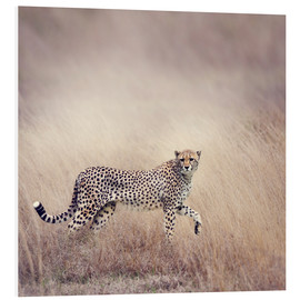 Stampa su PVC  Cheetah on the hunt