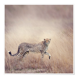 Poster  Cheetah on the hunt