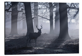 Stampa su alluminio  A male red deer stag waits in the early morning mists of Richmond park, London. - Alex Saberi