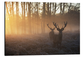 Alluminio Dibond  Two deer stags in a misty forest in Richmond park, London. - Alex Saberi