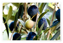 Poster Premium  Olives on branch