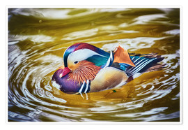 Mandarin duck splashing