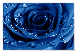 Poster Premium  Blue Roses with Water Drops