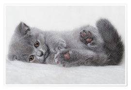 Poster Premium Gattino British Shorthair 23