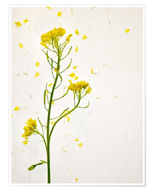 Poster  Fiori di senape - Axel Killian