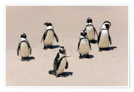 Poster Premium  Gruppe afrikanischer Pinguine, Boulders Reserve, Boulders Beach - Catharina Lux