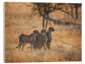 Legno  A group of Cheetah, Acinonyx jubatus, on the lookout for a nearby leopard in Namibia's Etosha N - Alex Saberi