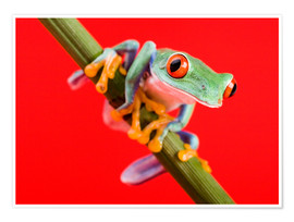 Poster Premium  Tree frog on red