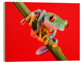 Stampa su legno  Tree frog on red