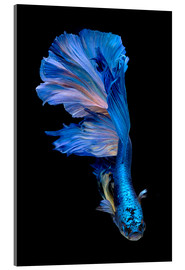 Stampa su vetro acrilico  magnificent blue fish