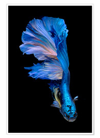 Poster Premium  magnificent blue fish
