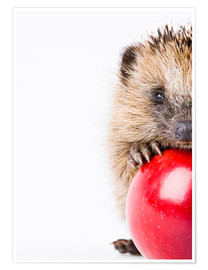 Poster Premium  Little hedgehog