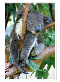 Poster Premium  Koala at closing time