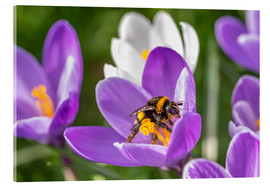 Vetro acrilico  Spring flower crocus and bumble-bee - Remco Gielen
