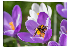 Stampa su tela  Spring flower crocus and bumble-bee - Remco Gielen