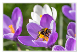 Poster Premium  Spring flower crocus and bumble-bee - Remco Gielen