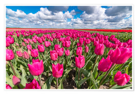 Poster Premium Beautiful dutch Field of pink tulips