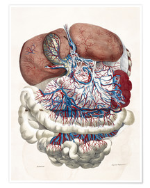 Poster Premium Internal organs, Liver, Stomach, Intestines
