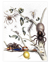 Poster  Various Arachnids from South America - Maria Sibylla Merian
