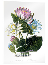 Stampa su vetro acrilico  Red, Blue, and White Lotus, of Hindostan - James Forbes