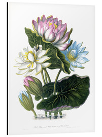 Stampa su alluminio  Red, Blue, and White Lotus, of Hindostan - James Forbes