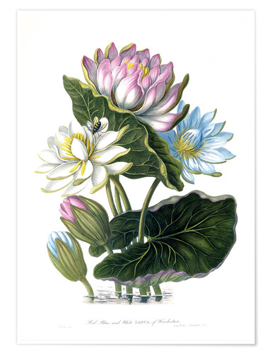 Poster Premium Red, Blue, and White Lotus, of Hindostan