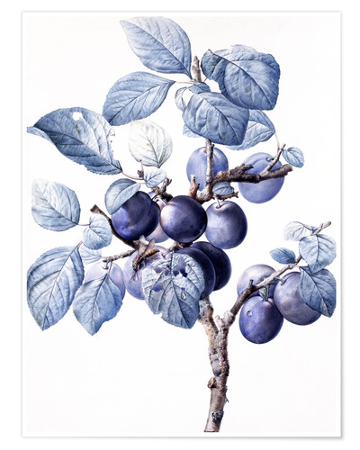 Poster Premium Branch of a plum with fruits