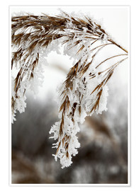 Poster Premium  Cereal stalk covered with frost