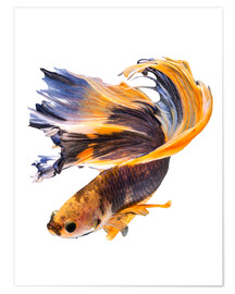 Poster Premium  Campfish orange and blue