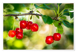 Poster Premium Close up of red ripe cherries hanging on a branch, Calgary, Alberta, Canada