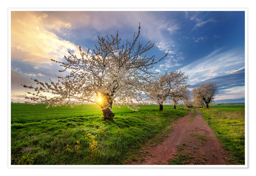 Poster Premium Cherry trees in spring