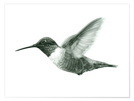 Poster Premium  Ruby Throated Hummingbird Sketch - Ashley Verkamp
