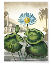 Poster Premium The blue Egyptian water-lily