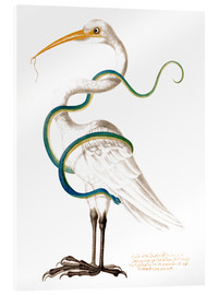 Stampa su vetro acrilico  Heron encircled by a snake, with a worm in his bill - Maria Sibylla Merian