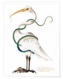 Poster Premium  Heron encircled by a snake, with a worm in his bill - Maria Sibylla Merian