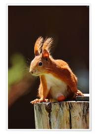 Poster Premium  Red squirrel with hazelnut - Uwe Fuchs