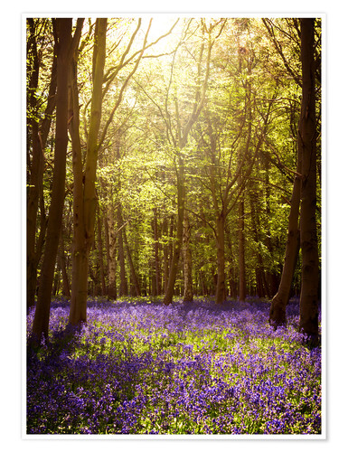Poster Premium Sunny forest with bluebells