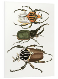 Stampa su schiuma dura  Large and rare beetles - German School